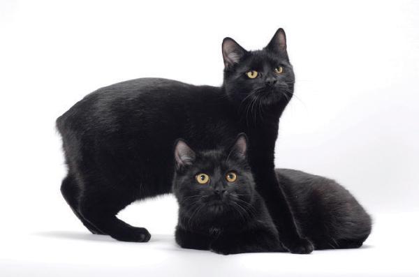 gatos alterados genéticamente